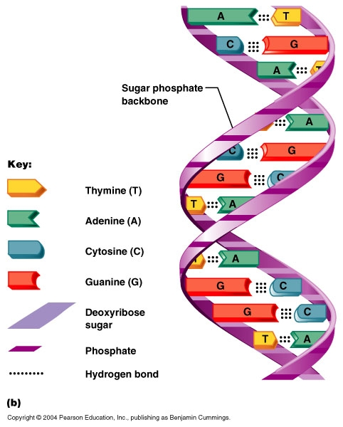 label the diagrams of dna nucleotides and bases home  donzale weebly com   home  donzale weebly com